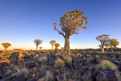 Quiver Tree Forest - Nambia Stock Photos