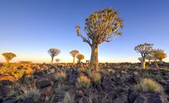Quiver Tree Forest - Nambia - stock photo