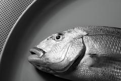 Denton, Mediterranean sparus fish, gilthead, snapper - stock photo