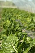 Stock Photo of green chard cultivation in a hothouse field