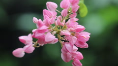 Closeup Black ant on a pink flower Stock Footage