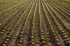 Lettuce sprouts field, green vegetable outbreaks Stock Photos