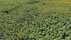 Aero Flight over the sunflower field sunny day Stock Footage