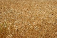Golden yellow wheat cereal crop field texture Kuvituskuvat