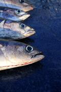 Albacore bloody tuna sport fisherman catch - stock photo