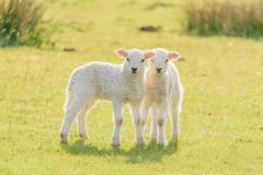Cute Easter Lambs - stock photo