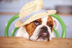 Sad Looking British Bulldog Wearing Straw Hat Kuvituskuvat