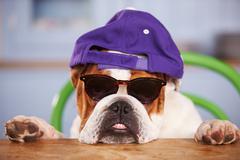 Sad Looking British Bulldog Wearing Baseball Cap Kuvituskuvat