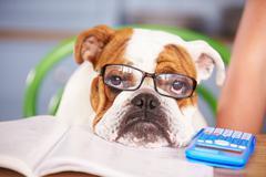 Sad Looking British Bulldog Pretending To Be Businessman Kuvituskuvat