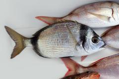 Diplodus vulgaris fish two band bream Stock Photos