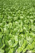 Stock Photo of cabbage green vegetables field in spring farmland