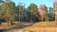 Autumn pine forest Stock Footage