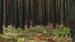 Pine forest at morning Stock Footage
