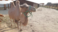 The Bactrian camel. Stock Footage