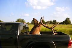 Weird deer taxidermist head over cargo van - stock photo