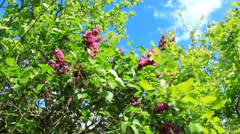Big bush of lilac Stock Footage