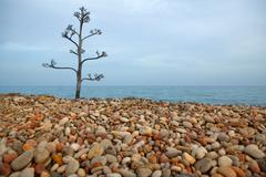 agave tree on a rolling stone beach - stock photo