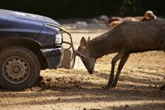 Deer fighting with a car, power combat Kuvituskuvat