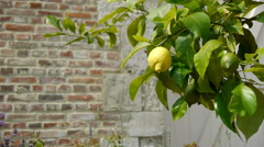 Lemon tree at an old walled botanical garden Stock Footage