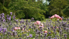 Roses and lavender at a romantic botanical garden Stock Footage