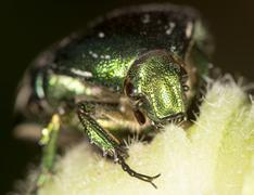 chafer in nature. close - stock photo