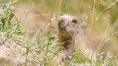 Alpine marmot at summer season Stock Footage