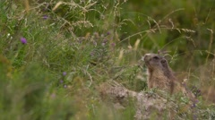 Beautiful shot of an alpine marmot in the grass Stock Footage