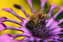 Pollinating Bee On Purple Flower - stock photo