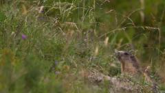 Alpine marmot rack of focus - stock footage