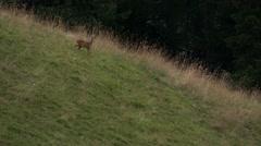 Stock Video Footage of Roe deer in an alpine meadow