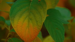 Close-up shot of Autumn Fall leaves Stock Footage