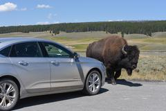 Bison and Car Stock Photos