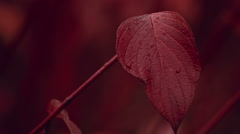 Close-up shot of Autumn Fall Red Leaf - stock footage