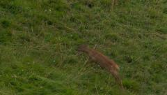 Roe deer in a meadow running out of the screen - stock footage