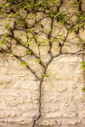 Vine Growing On Wall Stock Photos
