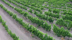 Rows of grape vines at a vineyard aerial Stock Footage
