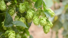 Detail of hops field in the breeze,real time Stock Footage