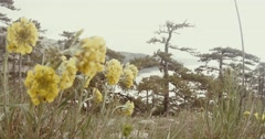 Stock Video Footage of yellow flowers in the misty mountains grow conifers