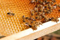 Bees inside a beehive with the queen bee in the middle Stock Photos