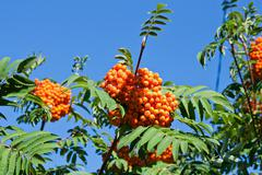 Rowan berries on a mountain ash or rowan tree, Sorbus aucuparia. - stock photo