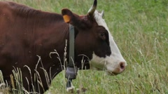 Close up on the head of a cow with a bell neck Stock Footage