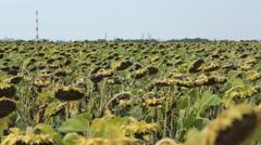 Sunflower Field 01 Stock Footage
