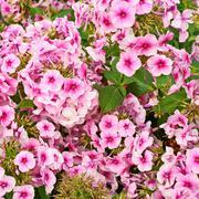 Stock Photo of Floral background geranium flower composition