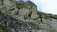 Stock Video Footage of Female mountain goat Chamonix