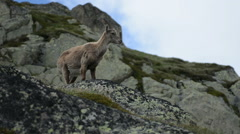 Stock Video Footage of Female mountain goat chewing and turning to look at camera Chamonix