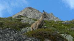 Female mountain goat walking out of shot Chamonix Stock Footage