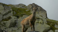 Female mountain goat looking around Chamonix Stock Footage