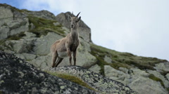 Female mountain goat prophile Chamonix Stock Footage