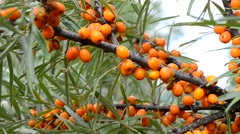 Branch with ripe orange sea buckthorn berries swaying in wind Stock Footage