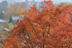 Autumn Leaves Of Jojakuko-ji Temple - stock photo
